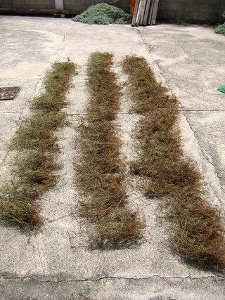 曝曬幾天之後,風茹草會變成乾枯的黃褐色,很像藥草