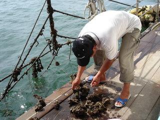 海中現撈的牡蠣有著濃濃的海水鹹味,卻沒有什麼腥味