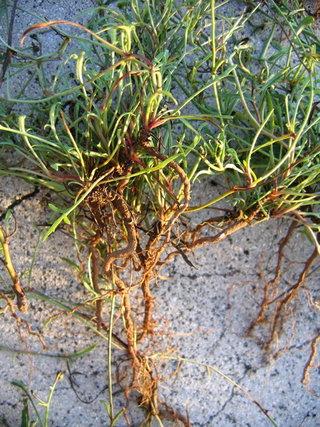 野生風茹草大部分生長在野地中,與一般雜草無異,因此需要仔細挑選;風茹草的根部是風茹茶香氣的來源,而風茹草生長時間越長,則根部越粗越長,熬出來的風茹茶香氣越濃郁
